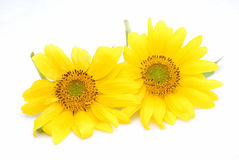Sunflowers on white stock photos