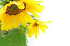 Sunflowers on the white background stock photo