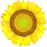 Sunflowers on a white background. Stock Image
