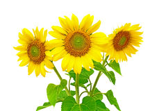 Sunflowers on a white background. Three sunflower closeup isolated on white background Stock Photo