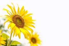 Sunflowers  on White Background Royalty Free Stock Photo