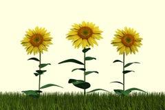 Sunflowers White Background Stock Photo