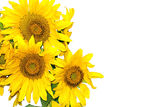 Sunflowers. On a white background Royalty Free Stock Image