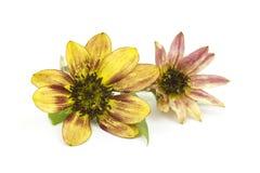 Sunflowers on white background Royalty Free Stock Photo