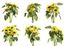 Sunflowers on white background Stock Image