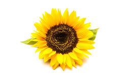 Sunflowers on the white background Stock Image
