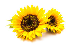 Sunflowers on the white background Royalty Free Stock Photo