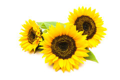 Sunflowers on the white background Stock Photos