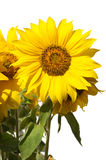 Sunflowers  on white closeup Royalty Free Stock Images