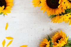 Sunflowers on white. Sunflowers fresh flowers on white wooden table background, flat lat frame with copy space stock photography