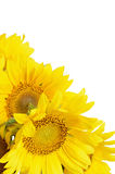 Sunflowers on whte background Royalty Free Stock Photo
