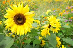 Sunflowers and wild flowers Stock Photos