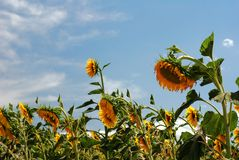 Sunflowers wilting in the heat. Sunflowers bending over and wilting in the dry hot weather stock image
