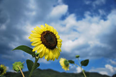 Sunflowers in the wind Royalty Free Stock Photography