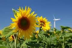 Sunflowers and wind power Royalty Free Stock Images