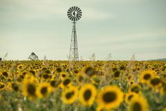 Sunflowers and a windmill in a field Royalty Free Stock Images