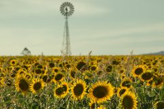 Sunflowers and a windmill in a field Royalty Free Stock Photos
