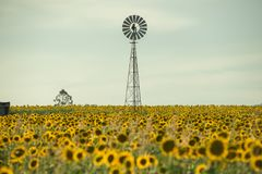 Sunflowers and a windmill in a field Royalty Free Stock Image