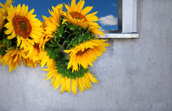 Sunflowers in the Window. Bunch on sunflowers resting on a window sill Stock Image