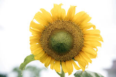 Sunflowers wither Stock Photo