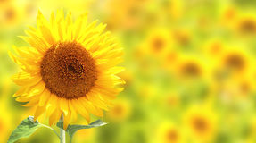 Sunflowers on yellow background Royalty Free Stock Image