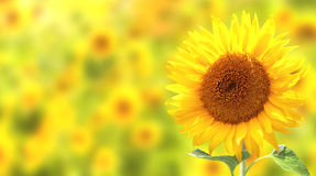 Sunflowers on yellow background Stock Images