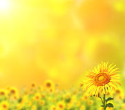 Sunflowers on yellow background Royalty Free Stock Photo
