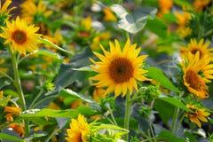 Sunflowers yellow blooming in garden flower beautiful.  stock photos