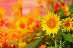 Sunflowers yellow blooming in garden flower beautiful, with sunrise light tone.  Royalty Free Stock Images