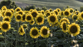 Sunflowers. Yellow corollas closeup outdoor Royalty Free Stock Photography