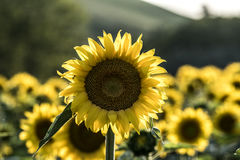 Sunflowers. Yellow corollas closeup outdoor Royalty Free Stock Images