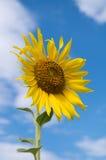 Sunflowers yellow flower. On blue sky Stock Photo
