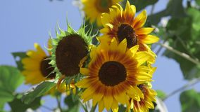 Sunflowers. Royalty Free Stock Photos