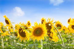 Sunflowers. Yellow sunflowers under blue sky Stock Photography