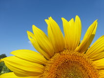 Sunflowers, zonnebloemen (Helianthus annuus) Royalty Free Stock Image