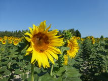 Sunflowers, zonnebloemen (Helianthus annuus) Stock Photo