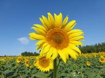 Sunflowers, zonnebloemen (Helianthus annuus) stock photo