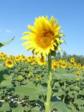Sunflowers, zonnebloemen (Helianthus annuus) Royalty Free Stock Photos