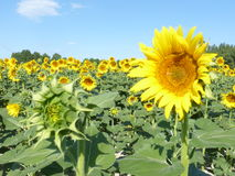 Sunflowers, zonnebloemen (Helianthus annuus) Royalty Free Stock Photo