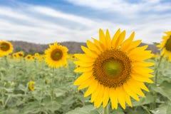 SunflowersHelianthus Immagini Stock