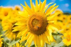 Sunflowerwith蜂 免版税库存图片
