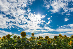 Sunflowes Στοκ εικόνα με δικαίωμα ελεύθερης χρήσης