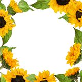 Sunflowers square frame royalty free stock photos