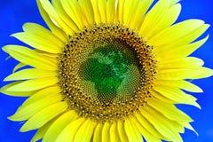 sunflowrer Obraz Royalty Free