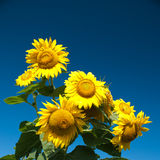 Sunflwer on sky Royalty Free Stock Photo
