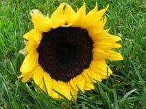 sunfolwer травы Стоковые Изображения