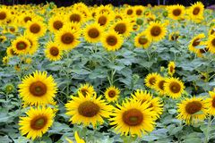 Sunforwer Royalty-vrije Stock Afbeelding
