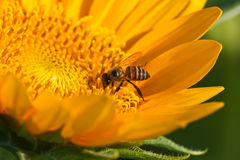 Sunfower. Which have a bees inside image Stock Image
