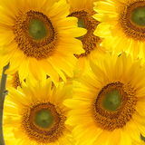 sunfower bigosu Zdjęcia Stock
