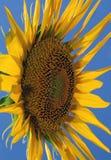 Sunfower dal lato con cielo blu fotografia stock libera da diritti